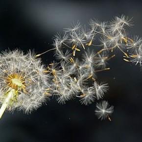 Cum zboară dorințele prin mintea mea ca fulgii de păpădie în bătaia vântului